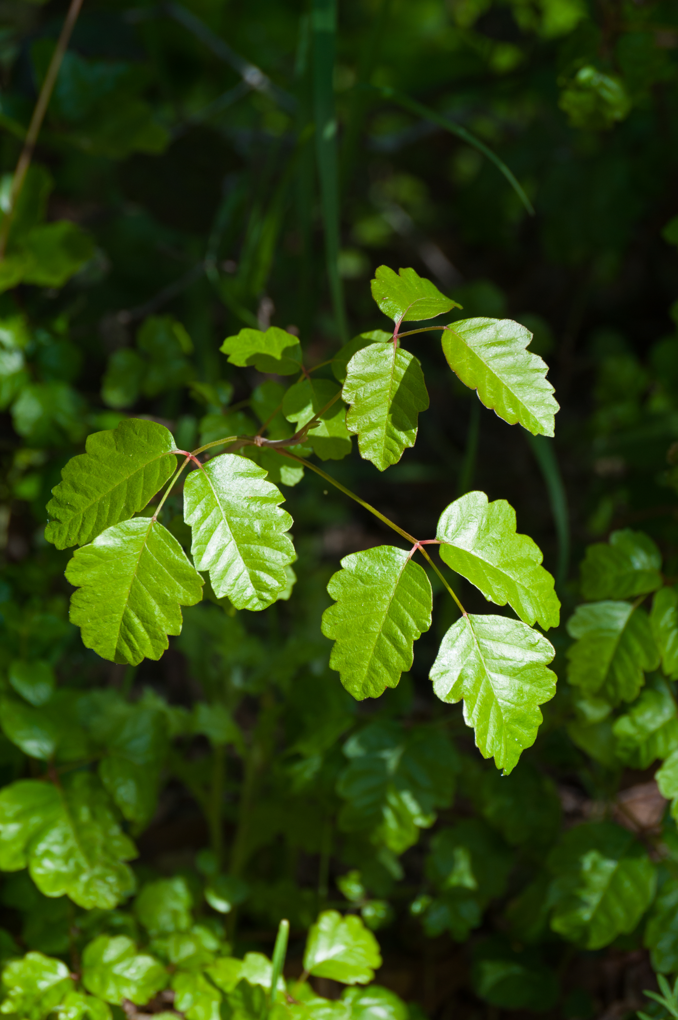 What To Do After You Encounter Poison Ivy, Oak Or Sumac ... - photo#20